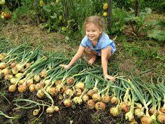 În fiecare an obțin o recoltă mare de ceapă: 4 sfaturi simple - Fasingur Summer House Garden, Home And Garden, Farm Gardens, Kids And Parenting, Onion, Thing 1, Gardening, Vegetables, Outdoor