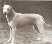 Resultado de imagen para English White Terrier
