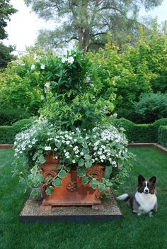 This steel version of Rob's classic climber-not visible in late summer.  It is the structure making this container planting suitable for company.  The long flower stalks of the nicotiana alata lime are tied up to it.  The vining mandevillea has otherwise engulfed it.  Not all structure needs to be seen.  But all structures need to be strong, and scaled to handle the job.