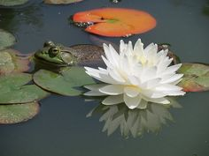 Frog is beside a white water lily and some lily pads. Image captured in our pond on a Spring day in late May at our New Hampshire yard.