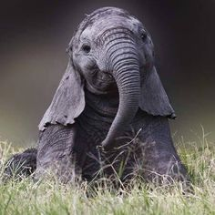 A happy elephant. Photo Elephant, Happy Elephant, Elephant Pictures, Elephants Photos, Save The Elephants, Elephant Love, Cute Animal Pictures, Drunk Elephant, Nature Animals