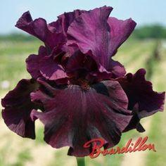 Iris : RASPBERRY WINE
