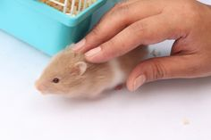 How to Care for Syrian Hamsters -- via wikiHow.com