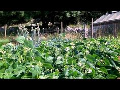 The vegetable garden late July