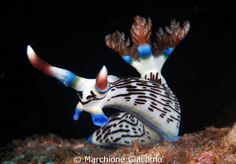Another gorgeous Nudi (in the Sulu and Sulawesi Seas, the Philippines).