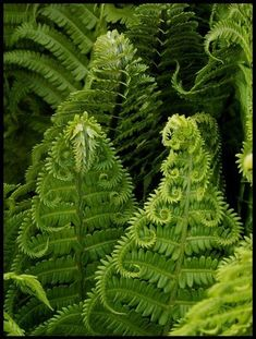 Fractals in nature, beautiful fern leaves Shade Garden, Garden Plants, Potted Plants, Moss Garden, Fern Forest, Forest Plants, Patterns In Nature, Fractal Patterns, Shade Plants