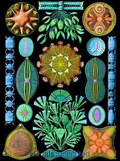ernst-haeckel-diatoms.jpg 444×600 pixel