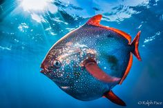 Opah – The First Fully Warm-Blooded Fish 5/19/15 Pacific moonfish