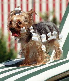 yorkshire terrier hair