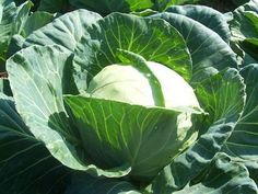 Cabbage : Early Flat Dutch SESE - Heat-resistant heirloom variety that is excellent for storage can handle slight frost Spring Plants, Spring Garden, Lawn And Garden, List Of Vegetables, Organic Vegetables, Canning Vegetables, Cabbage Seeds, Cabbage Vegetable, Gardening