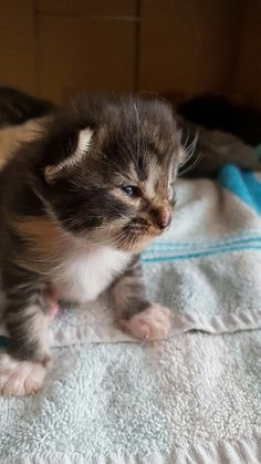 Lovely little maine coon kitten