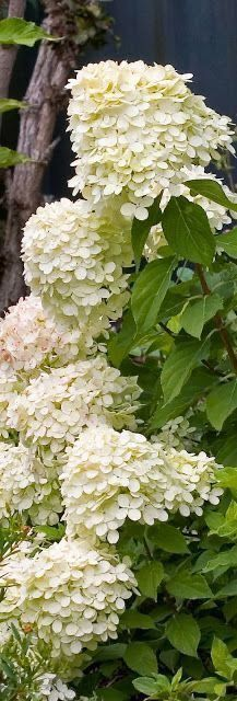 white gardens Little Lime® - Panicle Hydrangea - Hydrangea paniculata How beautifully simple these would be in a wedding bouquet. Hydrangea Paniculata, Hortensia Hydrangea, Limelight Hydrangea, Oak Leaf Hydrangea, Dwarf Hydrangea, Green Hydrangea, White Flowers, Beautiful Flowers, White Hydrangeas