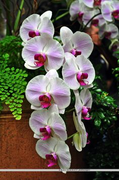 Phipps Conservatory and Botanical Gardens, Pittsburgh PA #flowers #orchids