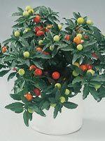 Solanum pseudocapsicum (Korallbär)