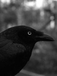 absinthius:      Crow
