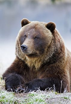 Grizzly Bear Portrait on a Frosty Morning ~ Photo by Gary Lackie Ours Grizzly, Grizzly Bears, Bear Pictures, Animal Pictures, Beautiful Creatures, Animals Beautiful, Animals And Pets, Cute Animals, Wild Animals