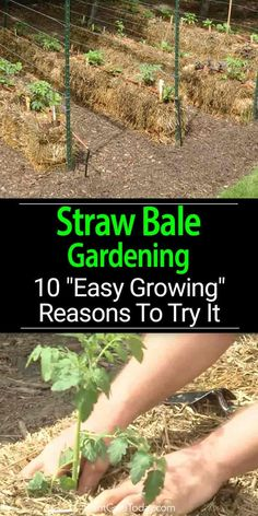 Straw bale gardening an alternative growing method using baled straw, hay, or alfalfa, adding compost, potting soil and manure to organically garden.