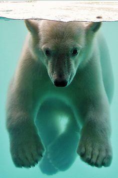 Polar Bear Cub Underwater | Flickr