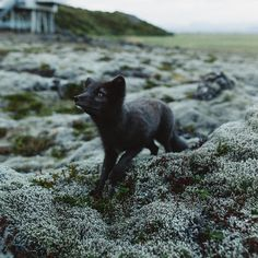 There are some memories that bring tears to my eyes. I remember the connection I made with Loki a beautiful wild arctic fox on the southern coast of Iceland. For some reason he trusted me as if I was one of his one. I spent nearly two hours in these mossy hills playing with Loki as he batted his front paws up into the sky hiding around the rocks waiting for me to find him and putting his cold nose onto my cheek. Even when writing about this experience and sharing this story it seems way too…