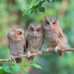 We are a store inpired in owls, that's why we have for you. A Best selecciont of Owl Pendants, Necklaces, Earrings, Rings and much more. Nature Animals, Animals And Pets, Baby Animals, Cute Animals, Beautiful Owl, Animals Beautiful, Beautiful Pictures, Owl Bird, Baby Owls