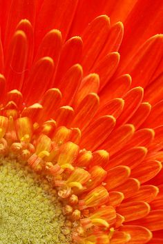 Stretch out | Flickr - Photo Sharing! . . . Orange Gerbera