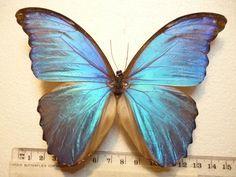 Real Butterfly Moth Dried Insect Specimens NON SET Large Blue Morpho Menelaus | eBay