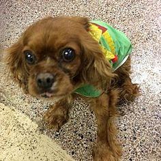 raytown, Missouri - Cavalier King Charles Spaniel. Meet RUBY, a for adoption. https://www.adoptapet.com/pet/20335346-raytown-missouri-cavalier-king-charles-spaniel