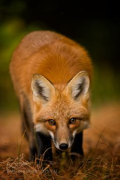 Red Fox by mcummings14 #animals #pets #fadighanemmd
