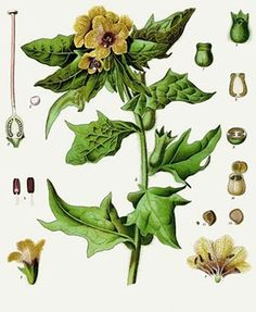 Jusquiame (Hyoscyamus niger)| Remèdes de Grand-Mère