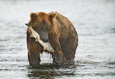 Grizzly bears fishing for salmon brooks falls katmai national park kodiak bear fandeluxe Gallery