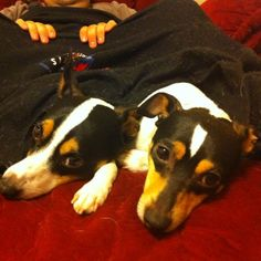 My sweet & sad little toy fox terriers