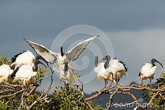Photo about African Sacred Ibis roosting in a tree. Image of branch, perched, ibis - 26239006 Southern, African, Birds, Stock Photos, Image, Frogs, Bird