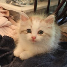 """""""Squiggles"""", Male and so adorable. Available for adoption now. Ragamuffin Kittens, Kittens Cutest, Beautiful Kittens, Funny Cats, Adoption, Photos, Animals, Art, Foster Care Adoption"""