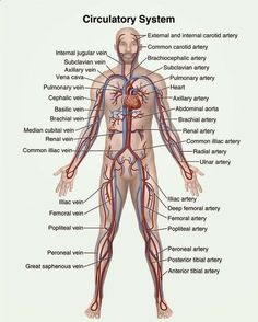 Human Anatomy and Physiology Diagrams: Circulatory system diagram