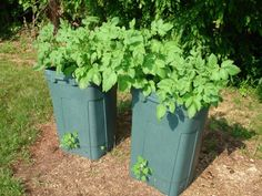 Grow Potatoes in Trash Can