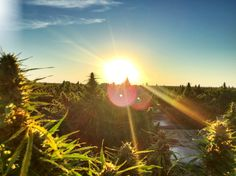 """Cannabidiol, or CBD, from hemp is a promising alternative to the psychoactive strains, and is an option for people with balance and stability issues, as well as people that do not want to experience the """"high"""" from THC."""