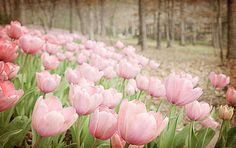 Tulips are my favorite  & Ohhh... the pink ones!