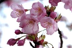 Cherry Blossom 新発田城址公園にて by Masanori Shimizu - Photo 30982841 - 500px