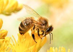 Resultado de imagem para honey bee