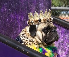 Pimped out Pug #puginvasion #pugs #purple #royal