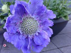 Höstvädd - lila blommor http://www.enklablommor.se/blogg