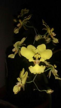 Oncidium macropetalum