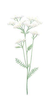#siankärsämö #common #yarrow #villiyrtti #herb #nature #flower #illustration #design #graphic Sansa, Serif, Blur, Wire, Illustrations, Plants, Design, Style, Swag
