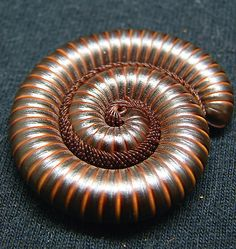 Never saw a millipede this close before - - fascinating!