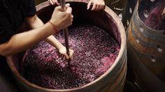 In Vino Veritas: The Tradition of Making Wine in an Italian-American Home Sauvignon Blanc, Cabernet Sauvignon, Pinot Noir, Truffle Hunting, Wine Enthusiast Magazine, Wine Yeast, Homemade Wine, Wine Guide, Gastronomia