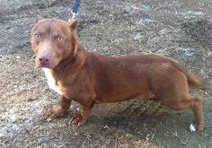 This Dachshund Pit Bull mix is way too adorable.