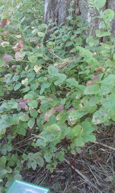 Mustikka (Vaccinium myrtillus)20.9 Sekametsä
