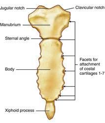corpus of the sternum - Google Search