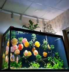 "6,168 Likes, 56 Comments - Aquarium Hobby (@aquariumhobby) on Instagram: ""These Discus really POP in this planted aquarium! ----Photo from @world_discus_fish_exchange…"" #AquariumTanksIdeas"
