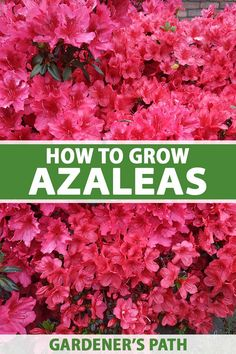 Brightly colored with long-lasting flowers, azaleas make a striking statement in the garden. Ideal for borders, beds, and foundation plantings, these shrubs provide months of vibrant blooms with sweet or spicy fragrance, and pretty fall foliage. Learn how to grow azaleas now on Gardener's Path. #azaleas #gardenerspath Arbor Day Foundation, Foundation Planting, Growing Flowers, Planting Flowers, Flower Gardening, Gardening For Beginners, Gardening Tips, Front Yard Landscaping, Backyard Patio